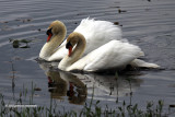 Mute Swans Stand off IMG_4060.jpg