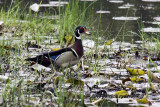 Wood Duck IMG_3839.jpg