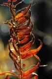 Dusk Gold