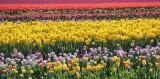 got tulips?