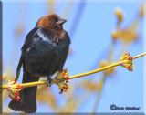 Brown-headed Cowbird Out On A Limb
