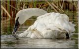 Closeup Of A Trumpeter Swan