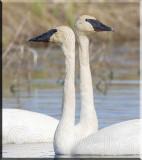 Trumpeter Swan Mix
