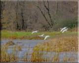 Trumpeter Swans Coming In For A Landing Over The Wetlands