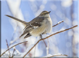 Northern Mockingbird Gallery