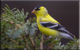 The American Goldfinch Gallery