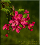 Crabapple Blossoms In Spring With All Their Splendor
