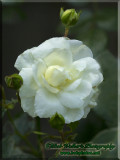 Our Backyard White Rose