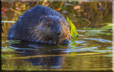 The North American Beaver Gallery