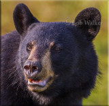 Black Bear Gallery