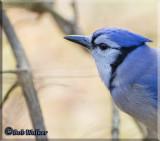 Blue Jay (Cyanocitta cristata) Gallery