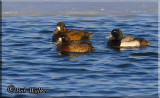 A Threesome Of Greater Scaups