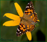 A Painted Lady Butterfly