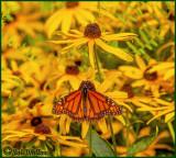 Monarch In A Garden Of Black-eyed Susan
