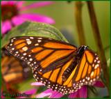 Monarch Butterfly In The Purple Coneflowers