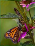 Monarch Butter Flies Two