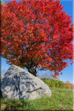 Fall's Red Maple's Beauty