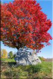 Fall's Beautiful Red Maple  From A Different Angle