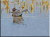 Green-winged Teal  And A Greater Yellowlegs Mingle