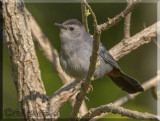 The Gray Catbird Can Move Around Quite A Bit