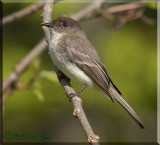 Eastern Phoebe Enjoying The Days Of Spring