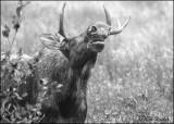 Bull Moose Flemming
