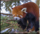 Red Panda Bear Cautious As It Makes It's Way Out Of Tree
