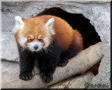 Red Panda Bear Comes Out Of It's Cave To Greet The People