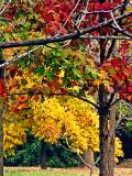 Red Oaks Walnut  Hickory