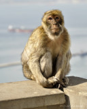 barbary_apes_of_gibraltar