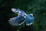 blue_jays