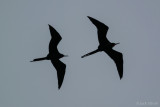 frigate_birds
