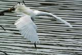 snowy_egrets