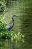 Other Heron