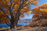 Cottonwoods by the lake