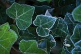Frosty ivy