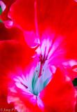 Inside of a geranium