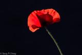 a poppy in full blossom