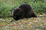 IMG_9401 Large Beaver spotted along Sturgeon River in Downtown St Albert, Oct 19
