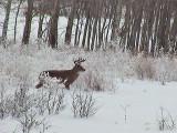 2013_12_03 Fuzzy Deer - at Minus 15