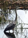 IMG_2484-blueheron on Big Lake