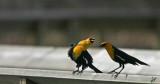 2014_05_21 Blackbird Buddies on Big Lake Birdwalk