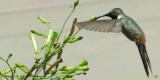IMG_4429 Hummingbird Demonstrates Hover