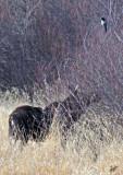 2016_03_28 Big Lake Walk Moose and Chikadees