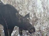 2016_10_15 The Moose Return