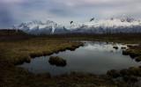 Canadian geese take flight, Palmer, Alaska. L1000197.jpg