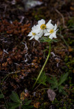 Anemone (species?)   Ranunculaceae CZ2A7415.jpg