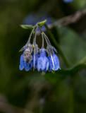 Mertencia (species?)    family: Boragaceae CZ2A6384.jpg