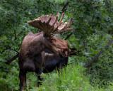 A beautiful bull moose in velvet. CZ2A6843.jpg