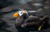 Tufted Puffin. Seward, Alaska.  CZ2A9095.jpg